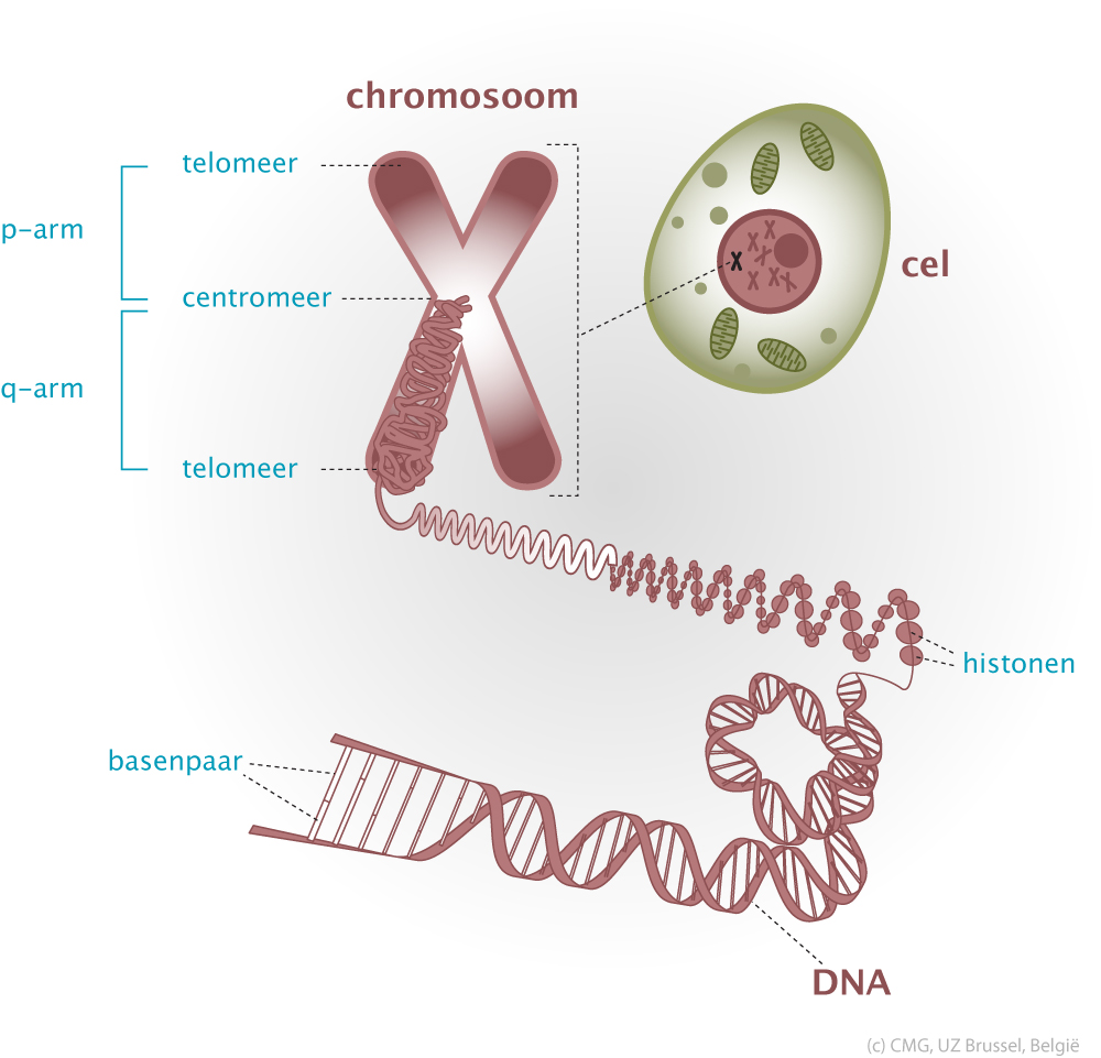 Cellule-Chromosome